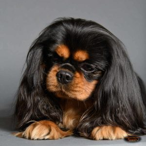 black and tan spaniel