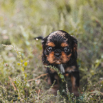 kookoora-cavaliers-puppy-grass-adventure-150x150