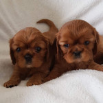 kookoora-cavaliers-red-puppies-150x150